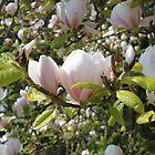 Magnolia by AnnDixon