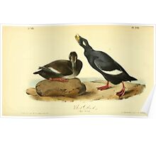James Audubon Vector Rebuild - The Birds of America - From Drawings Made in the United States and Their Territories V 1-7 1840 - Velvet Duck Poster