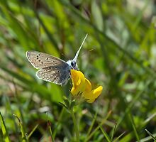 Common Blue Butterfly by Sue Robinson