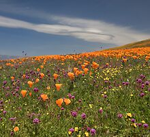 Poppies and Owls Clover by photosbyflood