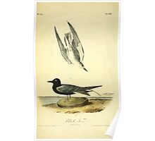 James Audubon Vector Rebuild - The Birds of America - From Drawings Made in the United States and Their Territories V 1-7 1840 - Black Tern Poster