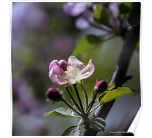 Apple flower Poster