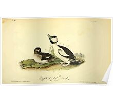 James Audubon Vector Rebuild - The Birds of America - From Drawings Made in the United States and Their Territories V 1-7 1840 - Buffel Headed Duck Poster
