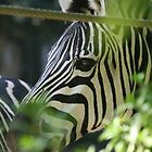 Zebra Hiding by Aaron Blackwell