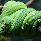 emerald tree boa by pallyduck