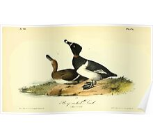 James Audubon Vector Rebuild - The Birds of America - From Drawings Made in the United States and Their Territories V 1-7 1840 - Ring Necked Duck Poster