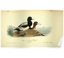 James Audubon Vector Rebuild - The Birds of America - From Drawings Made in the United States and Their Territories V 1-7 1840 - Common Scaup Duck Poster