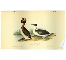James Audubon Vector Rebuild - The Birds of America - From Drawings Made in the United States and Their Territories V 1-7 1840 - Horned Grebe Poster