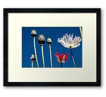 Opium poppies Framed Print