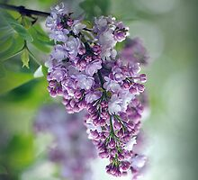 Lilac in Spring by Jacky Parker