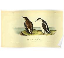 James Audubon Vector Rebuild - The Birds of America - From Drawings Made in the United States and Their Territories V 1-7 1840 - Slender Billed Guillemot Poster