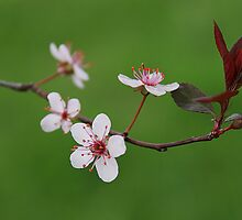 Sandcherry Blossoms by janetlee