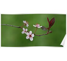 Sandcherry Blossoms Poster