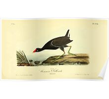 James Audubon Vector Rebuild - The Birds of America - From Drawings Made in the United States and Their Territories V 1-7 1840 - Common Gallinule Poster