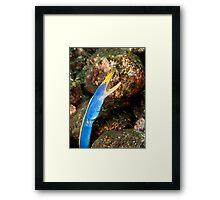Blue Ribbon Eel Framed Print