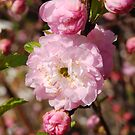 Pinking of Spring by rabeeker