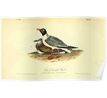 James Audubon Vector Rebuild - The Birds of America - From Drawings Made in the United States and Their Territories V 1-7 1840 - Black Headed Gull Poster