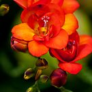 Orange Freesia by Alison Cornford-Matheson
