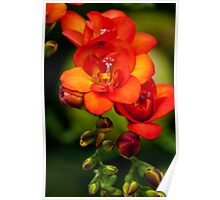 Orange Freesia Poster