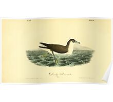 James Audubon Vector Rebuild - The Birds of America - From Drawings Made in the United States and Their Territories V 1-7 1840 - Dusky Shearwater Poster