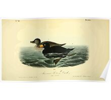 James Audubon Vector Rebuild - The Birds of America - From Drawings Made in the United States and Their Territories V 1-7 1840 - American Scoter Duck Poster