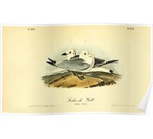 James Audubon Vector Rebuild - The Birds of America - From Drawings Made in the United States and Their Territories V 1-7 1840 - Kittiwake Gull Poster