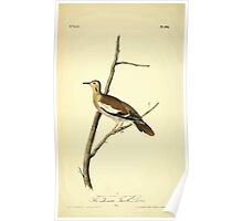 James Audubon Vector Rebuild - The Birds of America - From Drawings Made in the United States and Their Territories V 1-7 1840 - Texan Turtle Dove Poster