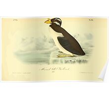 James Audubon Vector Rebuild - The Birds of America - From Drawings Made in the United States and Their Territories V 1-7 1840 - Horned Billed Guillemot Poster
