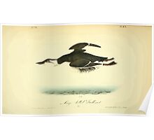 James Audubon Vector Rebuild - The Birds of America - From Drawings Made in the United States and Their Territories V 1-7 1840 - Large Billed Guillemot Poster