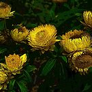 Yellow Flowers by mrfriendly