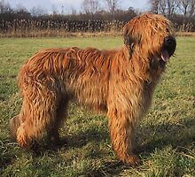 Cute Briard by welovethedogs