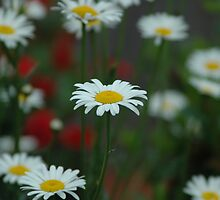 Daisy among Daisies by William Sanford