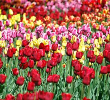 Tiptoe Through The Tulips by Kasia-D