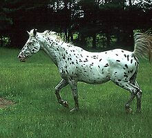 Trotting Appaloosa by WTBird