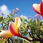 Plumeria in Pupukea by Lesley Ortiz