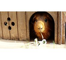 Super cute guinea pig eating Photographic Print