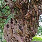Church Yew Tree by lezvee