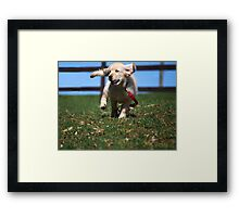 """Golden Retriever Puppy On The Run..."" Framed Print"