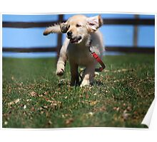 """Golden Retriever Puppy On The Run..."" Poster"