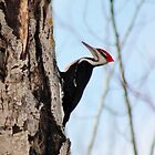 Pileated Woodpecker by Kathleen Daley