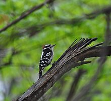 Downy woodpecker on an old tree by mltrue