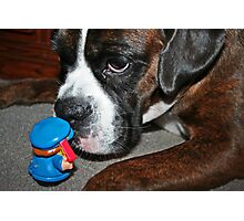 This is definately NOT a cookie!!!  -Boxer Dogs Series- Photographic Print