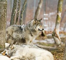 Watchful Timber Wolf by Yannik Hay