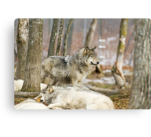 Watchful Timber Wolf Canvas Print