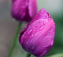 Twin Tulips  by Nancy Lovering