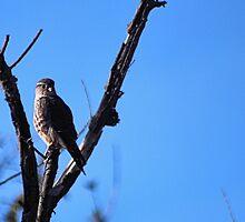 Brooklyn Falcon II by BOLLA67