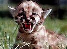 Mountain Lion cub by Larry  Grayam