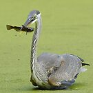 Blue Heron fishing by gregsmith