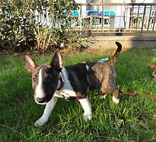 Fluffy Miniature Bull Terrier