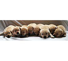 Yellow lab puppies  Photographic Print